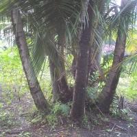 Pohon Kelapa Aneh 1 Tunas 8 Batang.....weladalah ajaib iki...