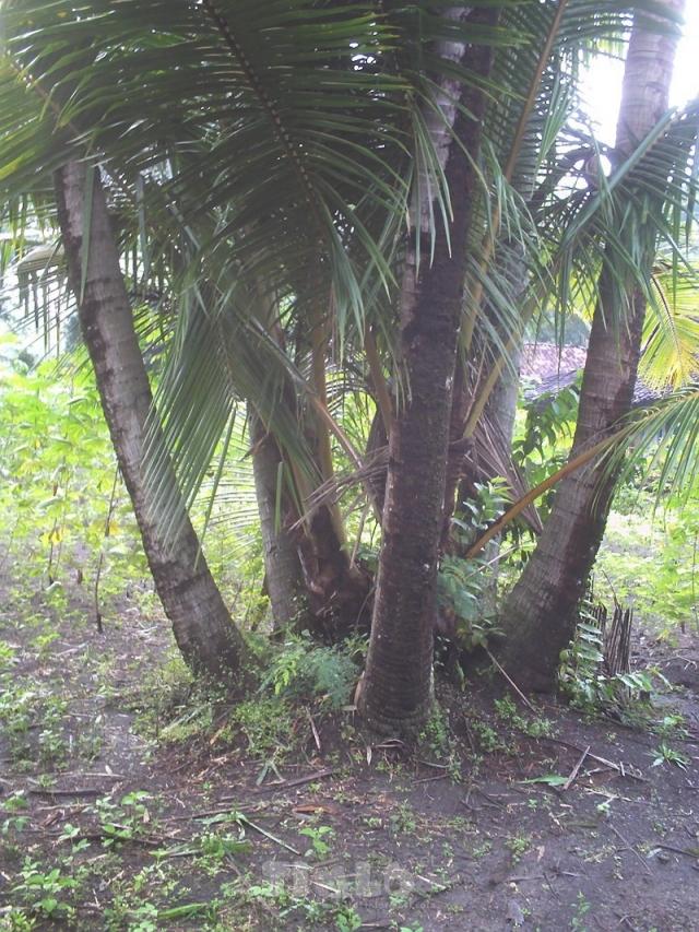 kelapa aneh