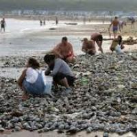 Ratusan Ribu Kerang Muncul Di Pantai...Ada Fenomena Apa Yaaa...???