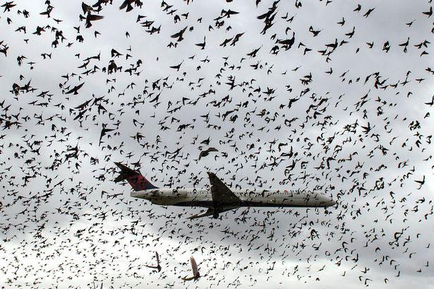 burung-tabrak-pesawat