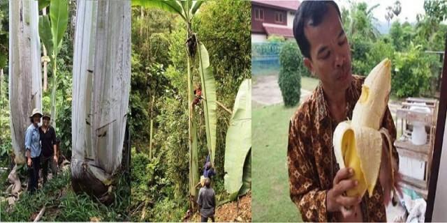 pisang-raksasa-asli-papua